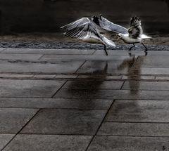 war of seagulls