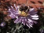 war wohl die letzte Biene auf Aster vor'm Eingang (Ende Okt. aufgenommen)