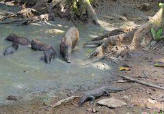 Waran und Wildschweine
