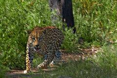 Warnung des Leoparden