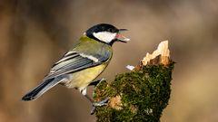 warum haben Vögel eine Zunge ?