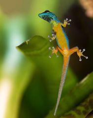 Warum klebt der Gecko an der Glasscheibe??