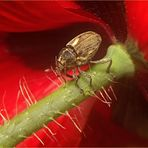 Warum manche Rüsselkäfer auch lange Beine haben