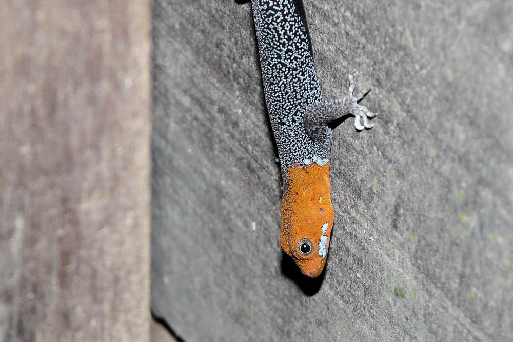 Warum yellow-headed gecko?