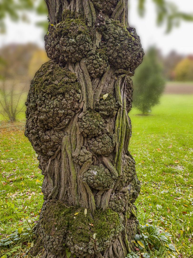 Warzenbaum
