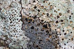 Warzenflechte Verrucaria * - Un lichen qui fait des trous dans la pierre...