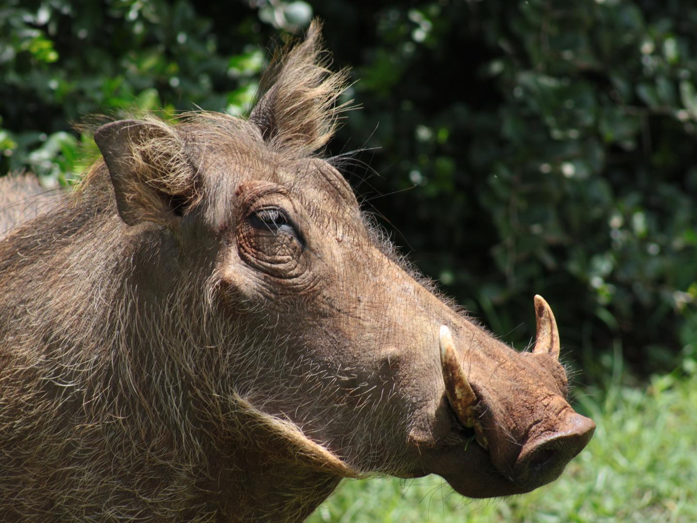Warzenschwein in Kenia