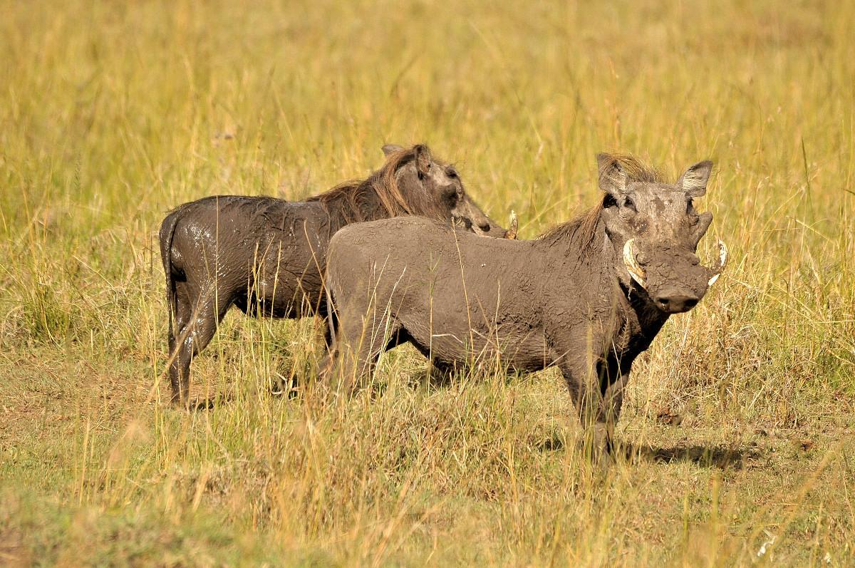 Warzenschweine in Afrika