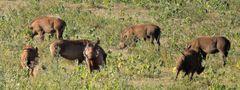 Warzenschweine mit wildem Eber.Ganz schön Respekteinflößend sieht er aus .