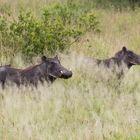 Warzenschweinfamilie im hohen Gras
