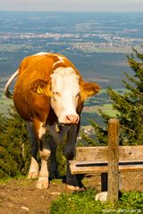 Was denkt die Kuh?