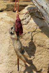 Was ein Erdmännchen alles tut, um an ein Stück Fleisch zu kommen.
