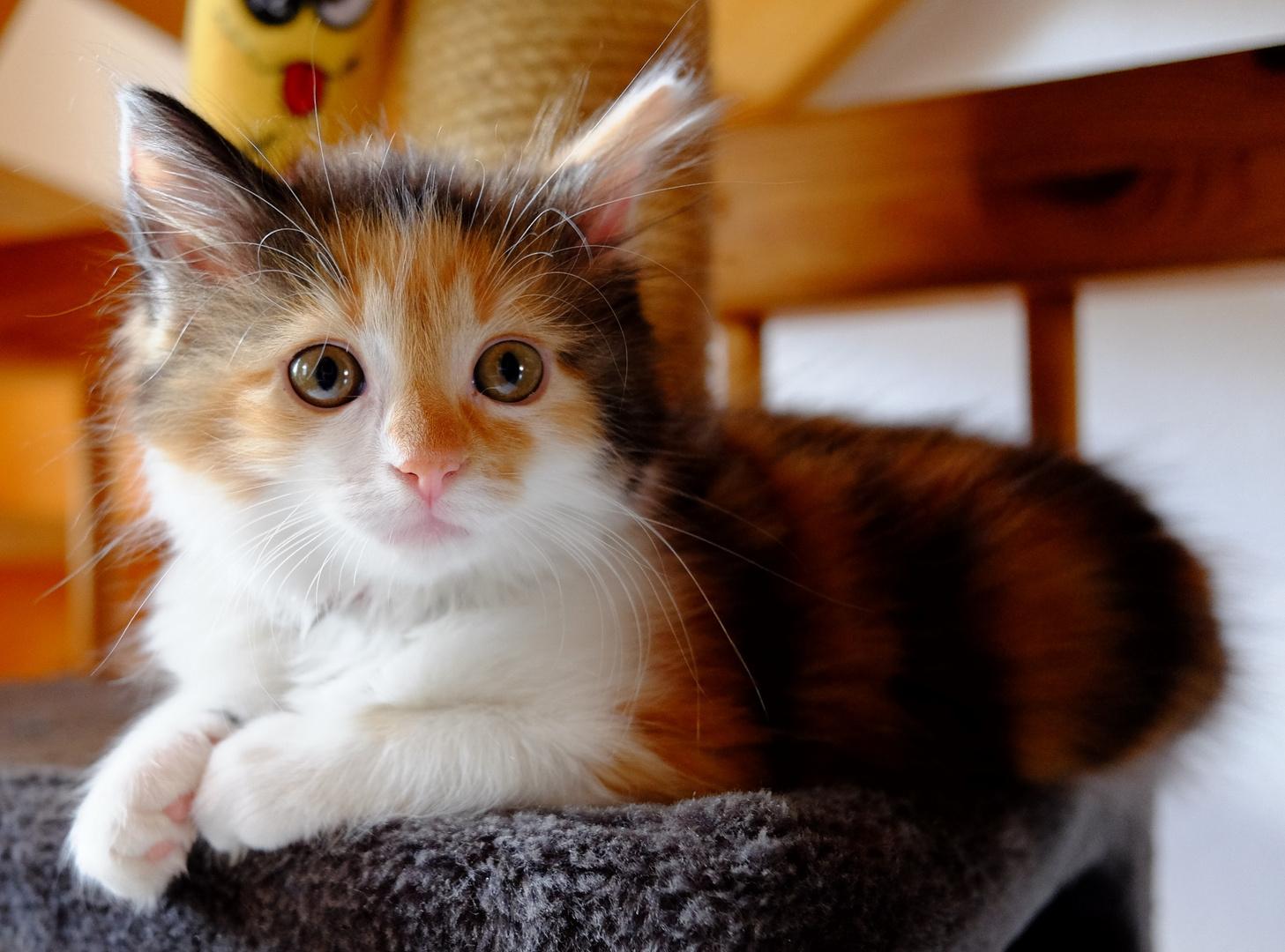 Was Eine Schöne Katze, Dreifarbig Foto & Bild