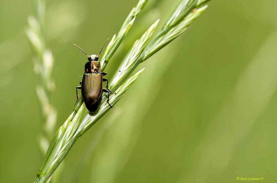 Was für ein Käfer ???