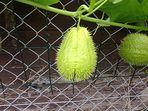 Was für eine Frucht ist das ?