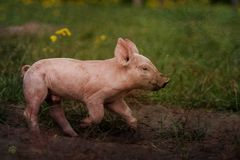Was haben wir hier Schwein....