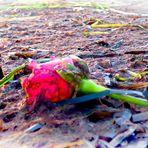 Was hat die Rose...