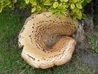 ........was ist das für ein Pilz ?