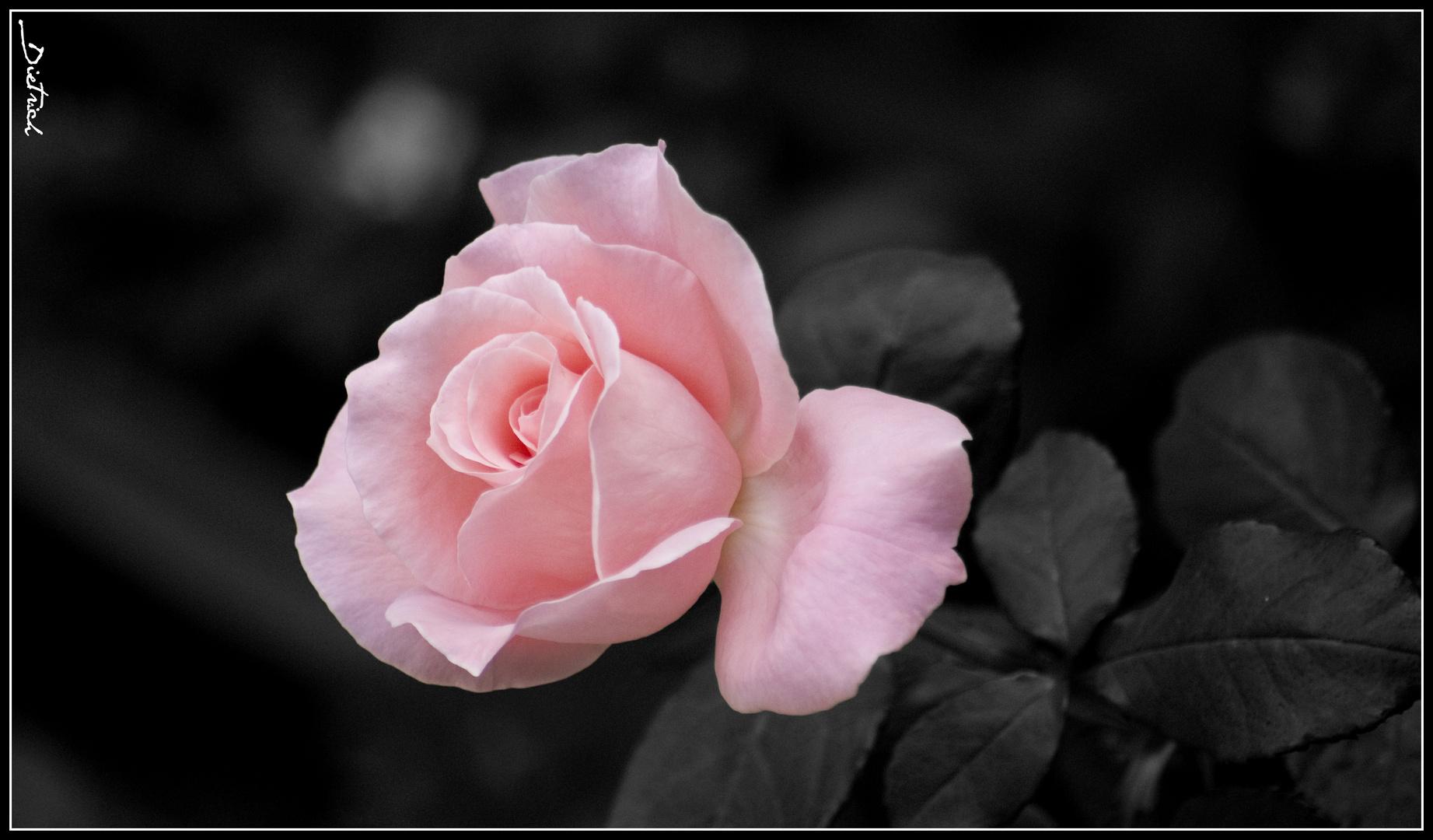 Was ist ein Name? Was uns Rose heißt, wie es auch hieße, würde lieblich duften.