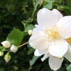 Was jetzt im Garten den betörenden Duft verströmt , Jasminblüten