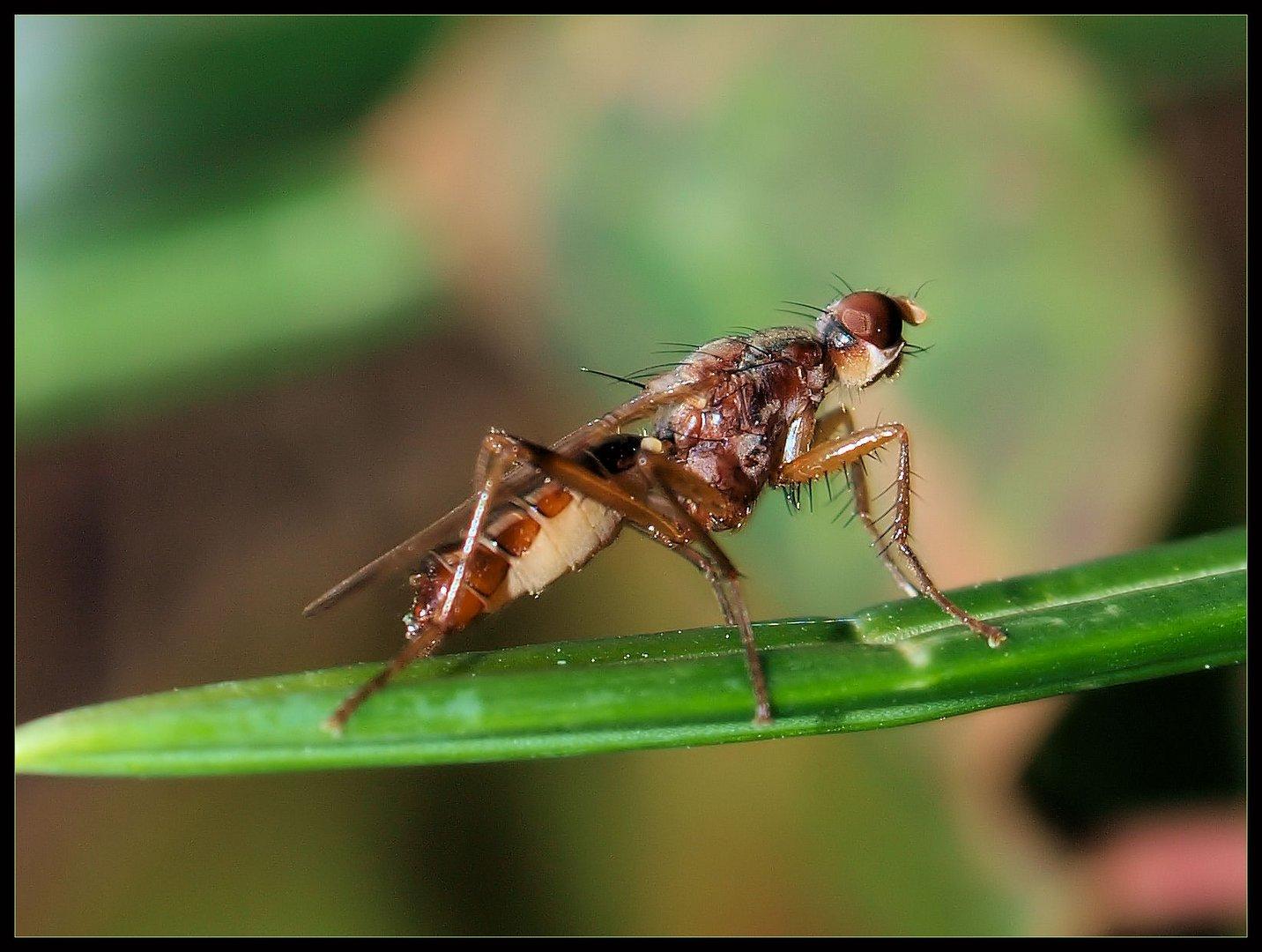 Was könnte das für eine Fliege /Mücke sein...