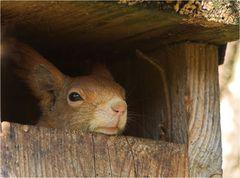 Was macht das Eichhörnchen im Nistkasten?