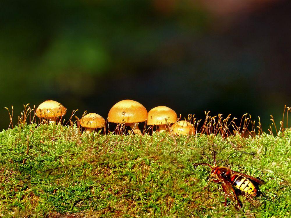 Was macht eine Hornisse bei Pilzen