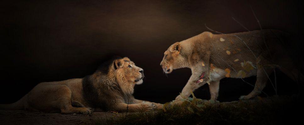 Löwenpaar Fotos Bilder Auf Fotocommunity