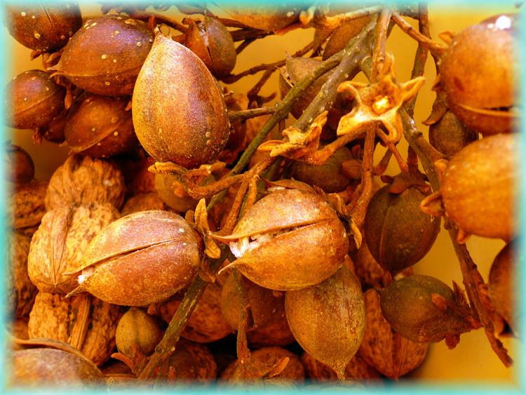 Was sind das für Früchte oder Samen?
