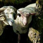 Was wäre die Grüne Insel ohne ihre Schafe? 2018