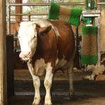 Waschanlage für Kühe