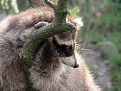 Waschbär im Zoo Hannover #2