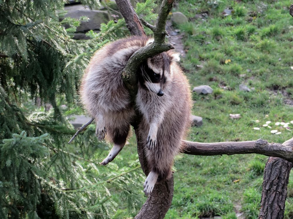 Waschbär im Zoo Hannover #3