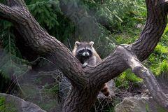 Waschbär im Zoo Hannover #4