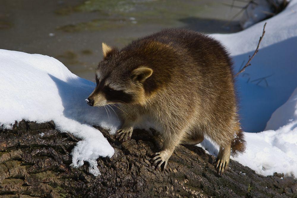 Waschbär mit Schneenase