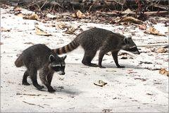 waschbär / northern raccoon / procyon lotor (50 cm)