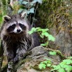 Waschbär,  racoon,  mapache