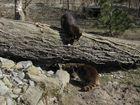 Waschbären, in Wisentgehege