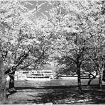 Washington Springtime No.2 - Cherry Blossoms in East Potomac Park