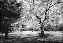 Washington Springtime No.3 - Bicyclists and Cherry Blossoms