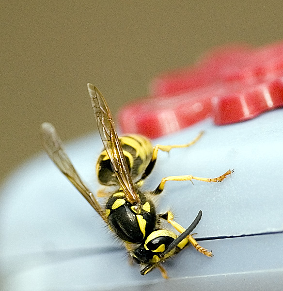 Wasp? Hornet? Yellowjack? No.1