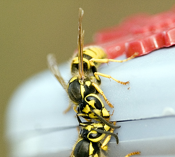 Wasp? Hornet? Yellowjacket? No. 2 (second try)