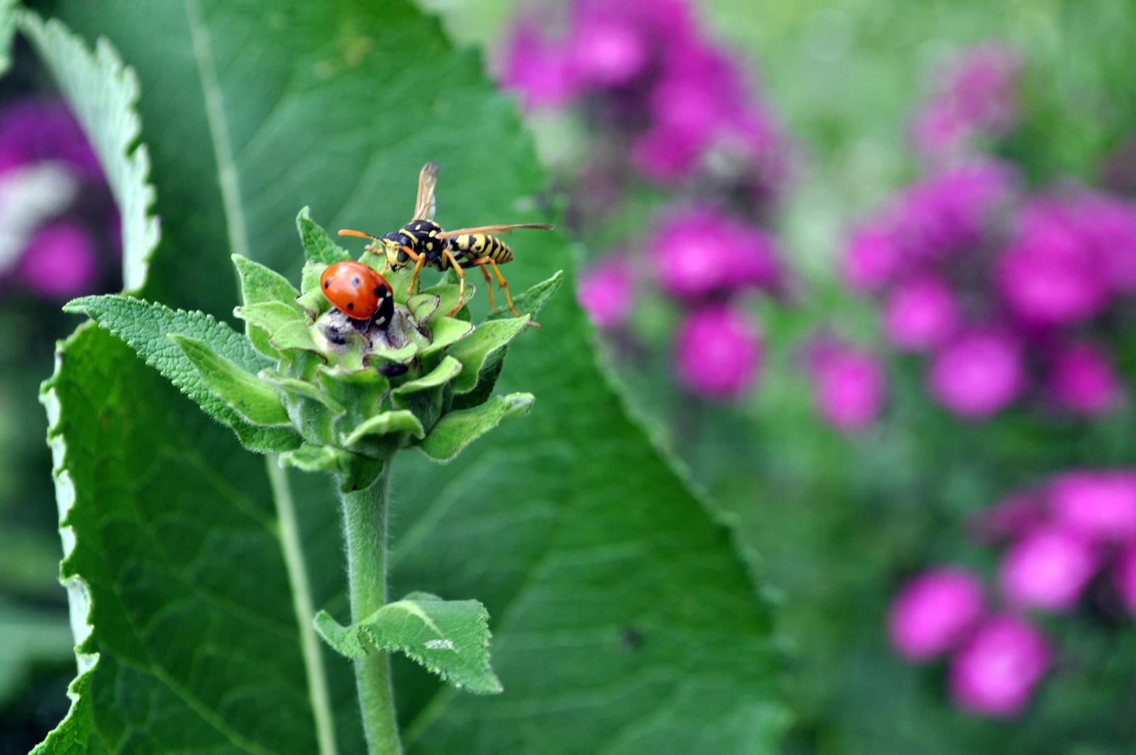 wasp vs. ladybird