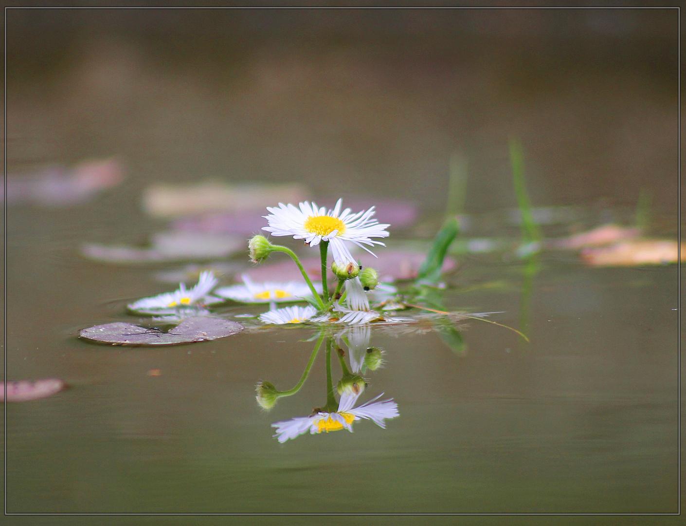 Wasser Gänseblümchen