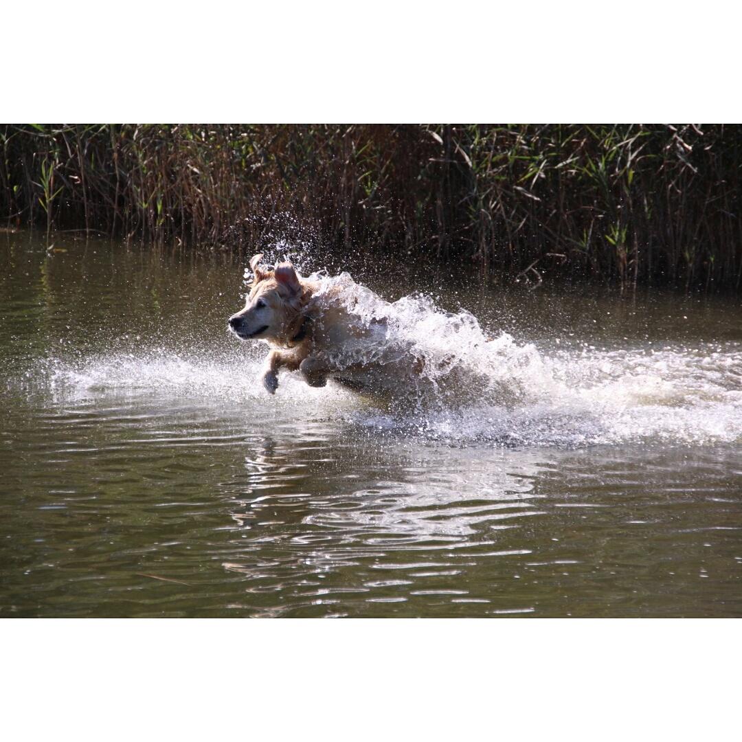 Wasser-Hund