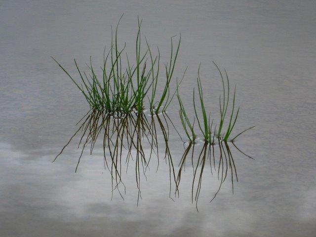 Wasser Pflanze