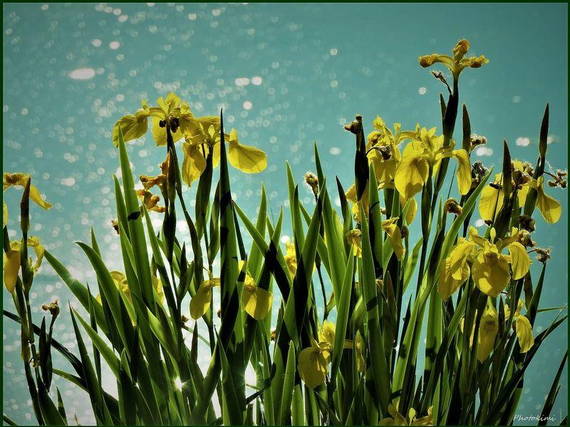 Wasser-Schwertlilien