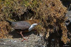 Wasseramsel am Nest