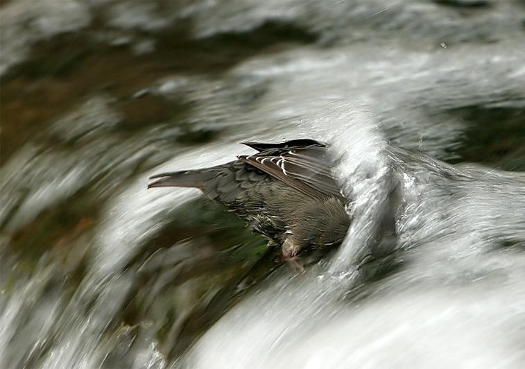 Wasseramsel
