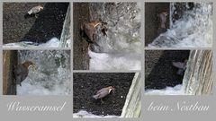 Wasseramsel beim Nestbau